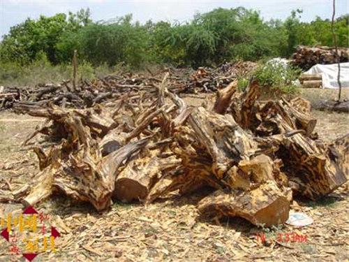 2刚被砍伐下来的紫檀树根(李广怀拍摄于印度) (2)