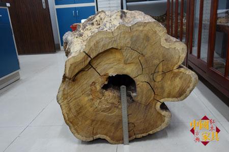 2华南农大种植的黄花梨倒下时寿命80年,胸径79厘米,边材只有3厘米